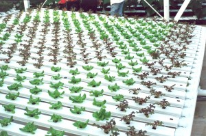 Lettuce being grown in NFT troughs